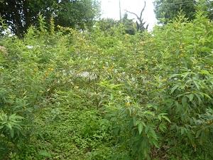 Hace un mes las plantaciones, mantenían su verdor natural.